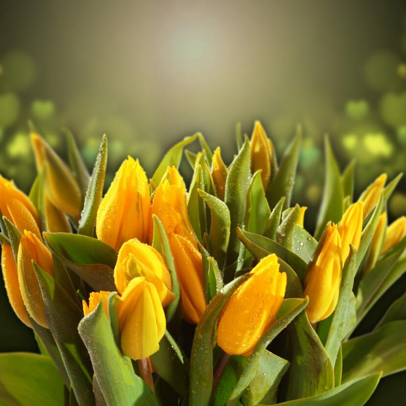 Yellow Tulips Buds 1 Wallpaper AJ Wallpaper