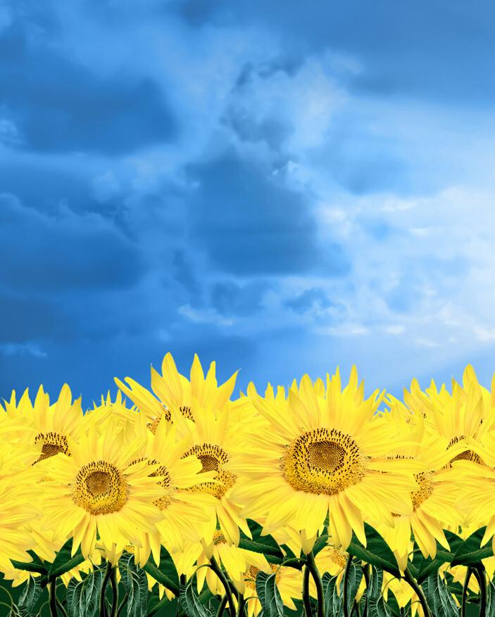 Bright Sunflowers 3 Wallpaper AJ Wallpaper