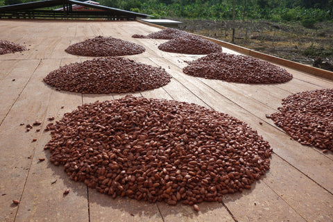 Cocoa Beans Ready for Spreading to Dry
