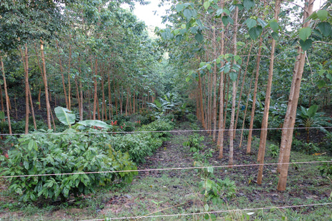 Trial Sustainability Plantation - Amelia Rope Chocolate
