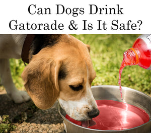 Can Dogs Drink Gatorade & Is It Safe?