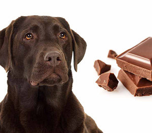 Why is Chocolate bad for dogs