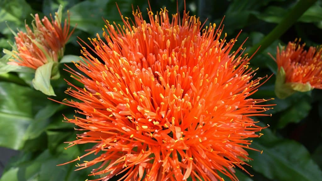 The Energetic and Health Benefits of Safflower Oil