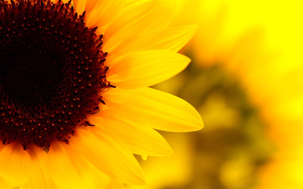 Healing the Shadow Aspect of Apollo ~ Using Sunflower as the Antidote