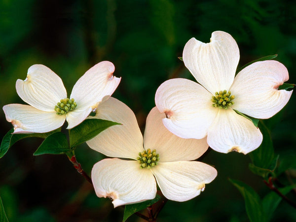 Dogwood Vibrational Essence