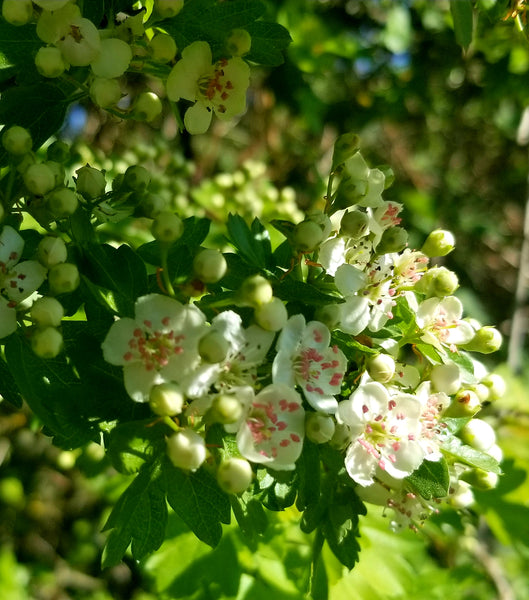 Hawthorn Tree (black type) Flower Essence