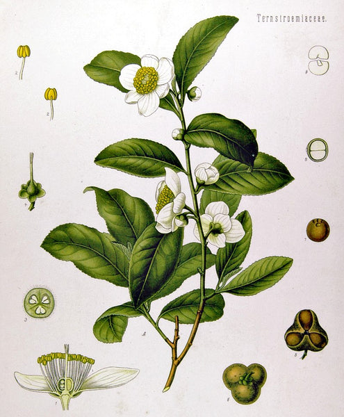 Green Tea Absolute ~ Camelia sinensis
