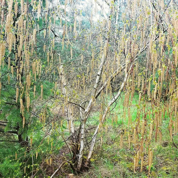 White Birch ~ Betula lenta L. Essential Oil (Organic)