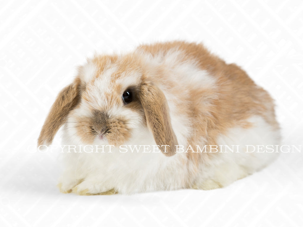 Bunny overlay - Brown & White bunny on layered PSD file, instant download