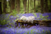Outdoor Newborn Digital Background - Enchanted Bluebell Forest