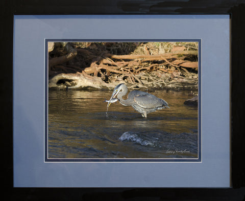 "Photograph - Neuse River Great Blue Heron Eating a Fish - 11"" x 14"" Framed Print"
