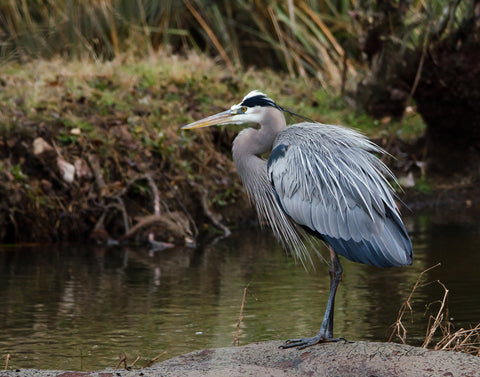 "Photograph - Neuse River Great Blue Heron  - 11"" x 14"" Print Only"