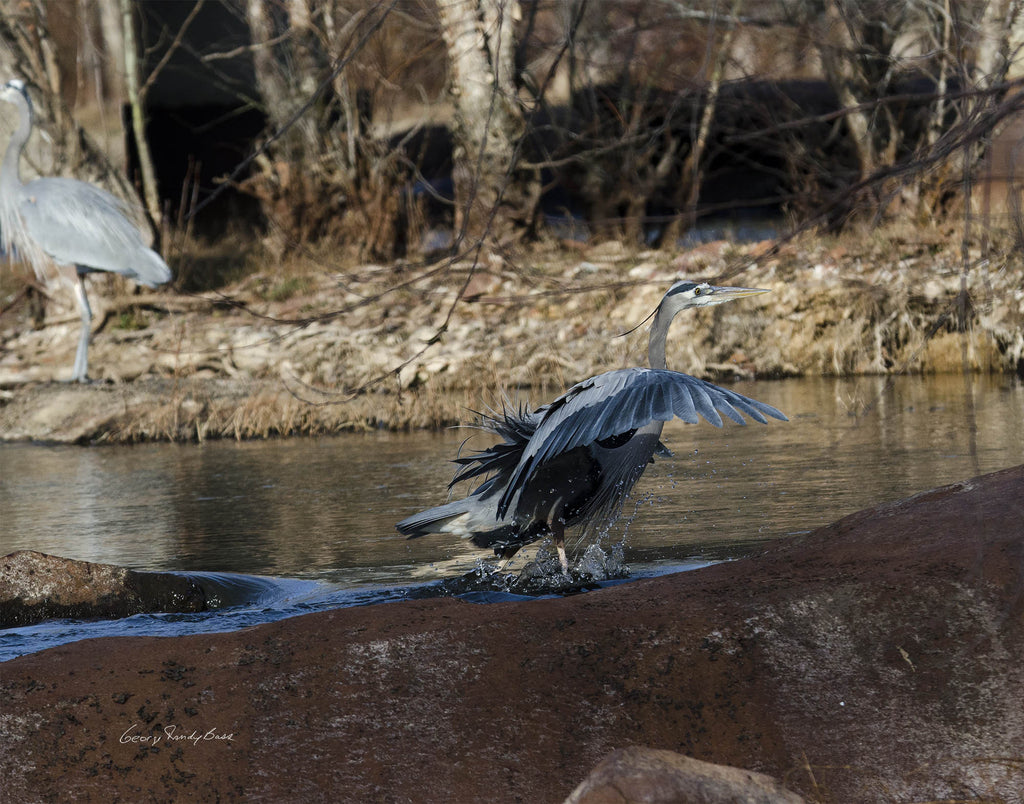 "Photograph - Neuse River Greenway Herons - 11"" X 14"" Print Only"