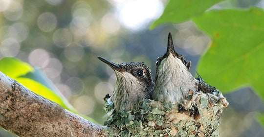 10-adorable-pictures-of-baby-hummingbirds
