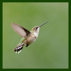wing beats of hummingbirds
