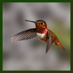 rufous hummingbird migration