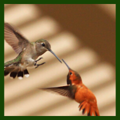 aggressive hummingbirds