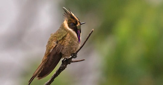 8 Hummingbird Species You Can Only Find in Colombia