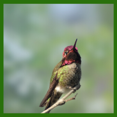 hummingbird adult