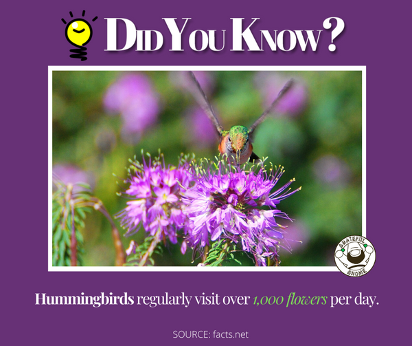 Amazing Hummingbird Facts