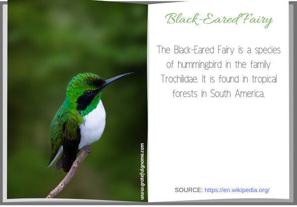 Black-Eared Fairy