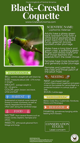 Black-crested Coquette Infographic