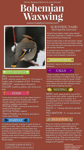 Bohemian Waxwing Infographic