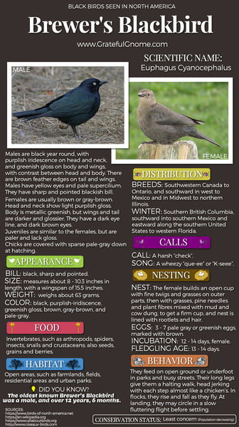 Brewer's Blackbird Infographic