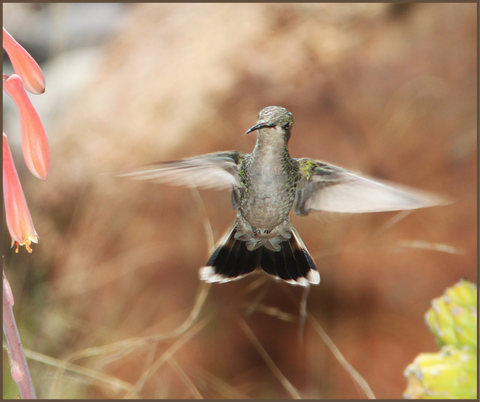 Broad-Billed Hummingbird Migration Fact 2