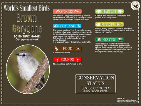 Brown Gerygone infographic