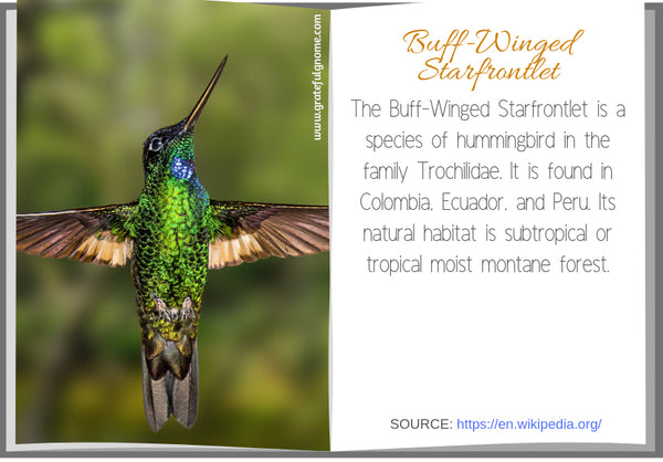 Buff-Winged Starfrontlet