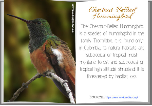 Chestnut-Bellied Hummingbird