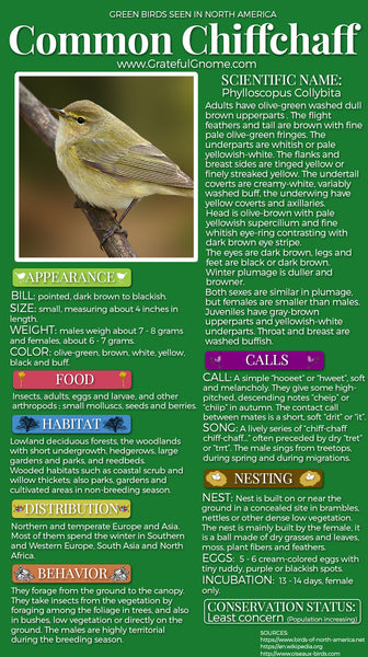Common Chiffchaff Infographic