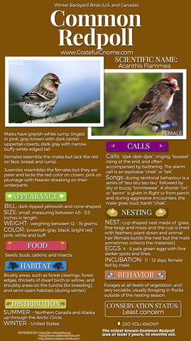 Common Redpoll Infographic