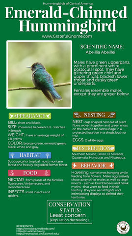 Emerald-chinned Hummingbird Infographic