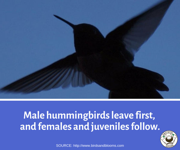 Fascinating Fact About Hummingbird Fall Migration