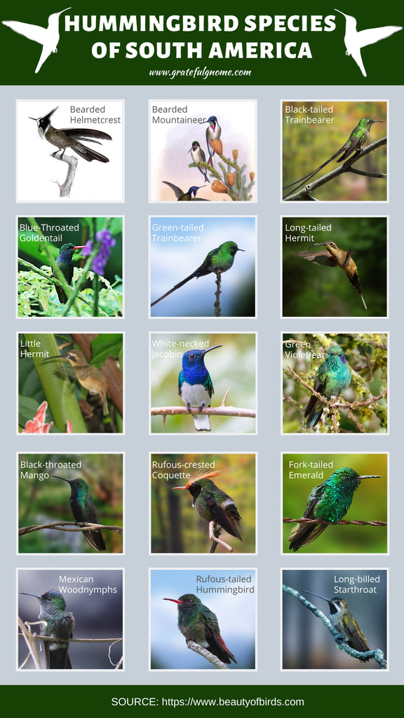 HUMMINGBIRD SPECIES OF SOUTH AMERICA