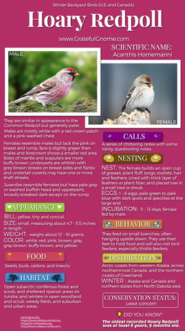 Hoary Redpoll Infographic