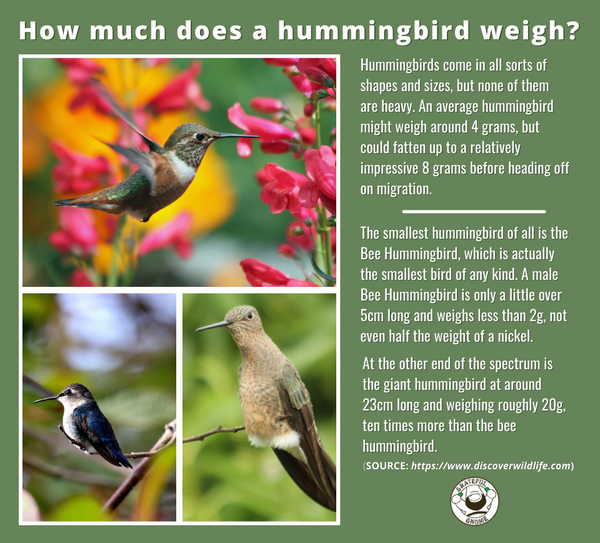 how-much-does-a-hummingbird-weigh