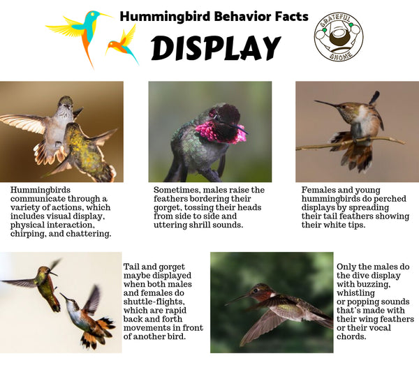 Hummingbird Behavior