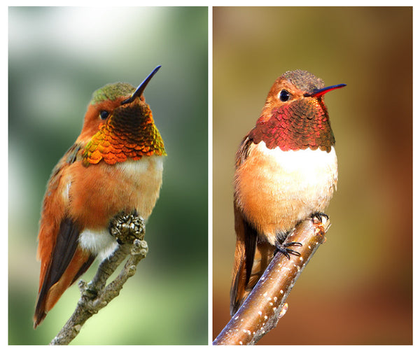 Identifying Hummingbirds (Allen's vs Rufous)