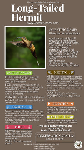 Long-tailed Hermit Infographic