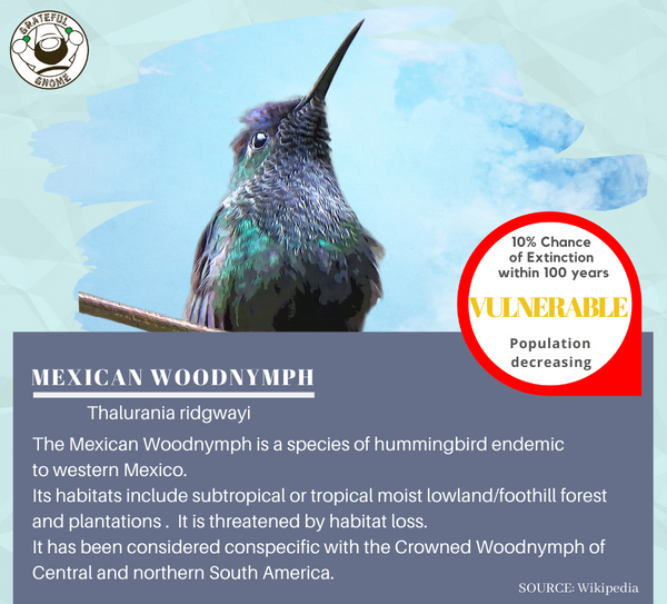 Mexican Woodnymph
