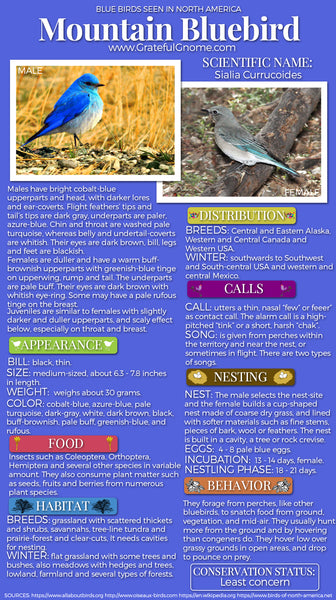 Mountain Bluebird Infographic