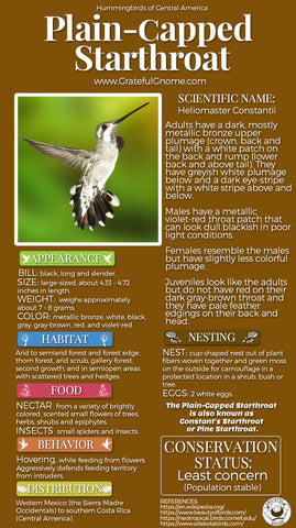 Plain-capped Starthroat Infographic