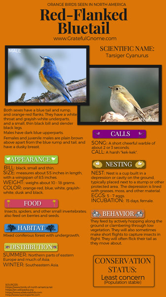 Red-Flanked Bluetail Infographic