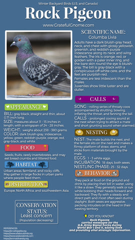 Rock Pigeon Infographic
