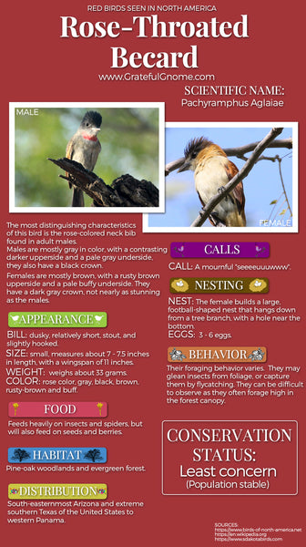 Rose-Throated Becard Infographic