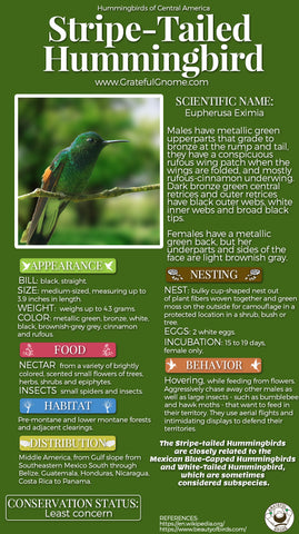 Stripe-tailed Hummingbird Infographic