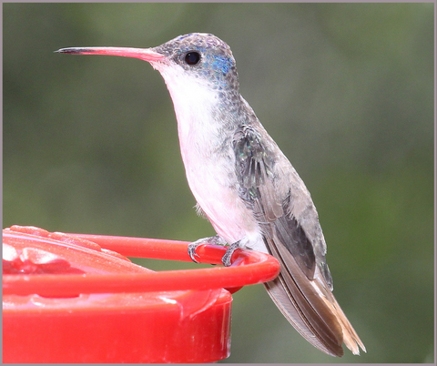 Violet-Crowned Hummingbird Migration Fact 4